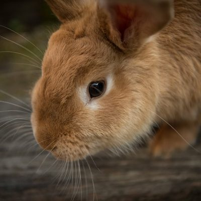 Are you considering getting a pet Rabbit?