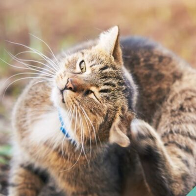Ear mites in cats and dogs